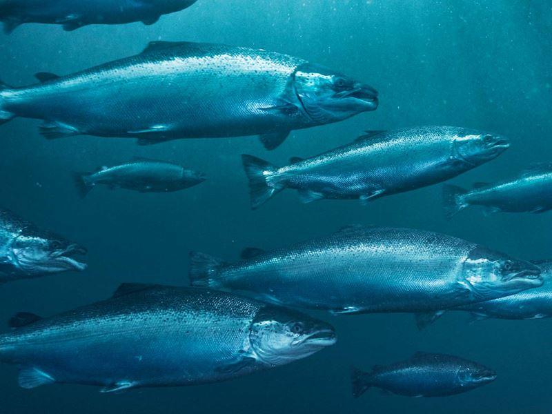 Det ble vist at fisk kan bli smittet med Listeria monocytogenes i sjø, og at dødfisk i merd kan bidra til å smitte fisk