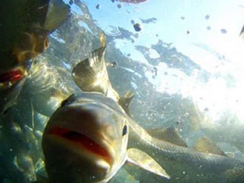Det er utviklet et kommersielt fôr til fangstbasert akvakultur med god smakelighet og historisk høy tørrfôrtilvenning på 90–97 %. Det er videre dokumentert vellykkede fôringsstrategier for å få villfanget torsk til å akseptere og vokse godt