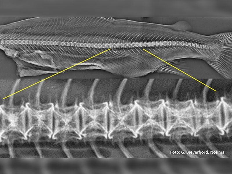 Hos laks med korsstingsvirveldeformiteter har affiserte ryggvirvler symmetriske defekter i endeplatene, i en avstand fra virvelsentrum som tilsvarer omtrent tuppen på endeplatene ved vaksinetidspunkt i settefiskfasen.