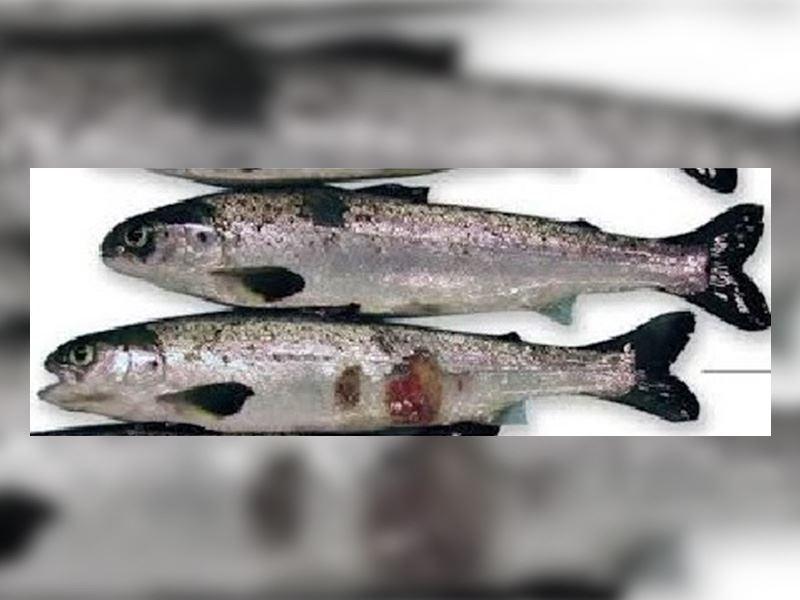Laksesmolt som holdes på 26 promille sjøvann i fire uker før utsett i sjø har betydelig redusert mottakelighet for sårsykdommen tenacibaculose.