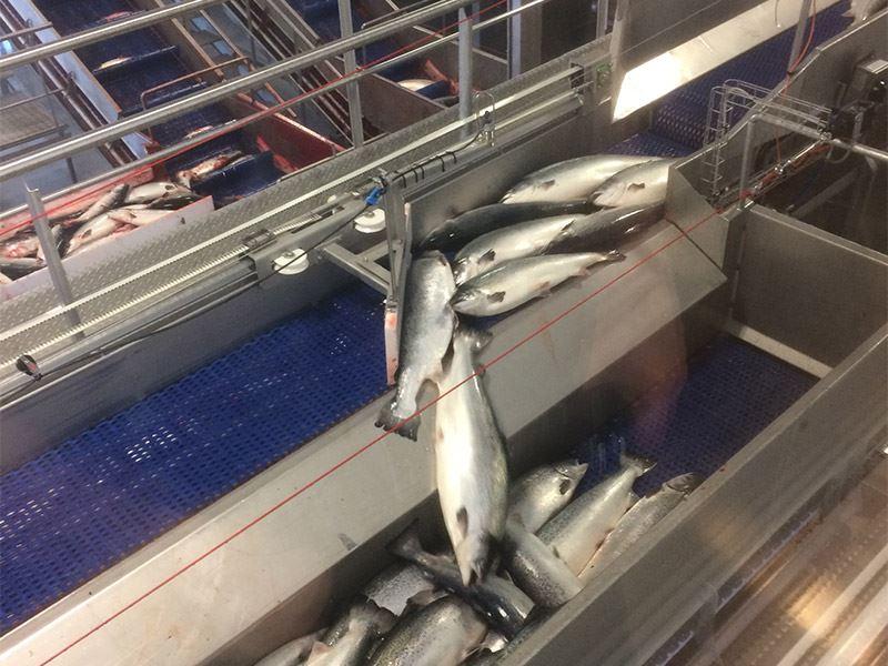 Kartlegging av listeria i sjøfasen har påvist at listeria kan komme inn i slakteriene fra matfiskanlegg.