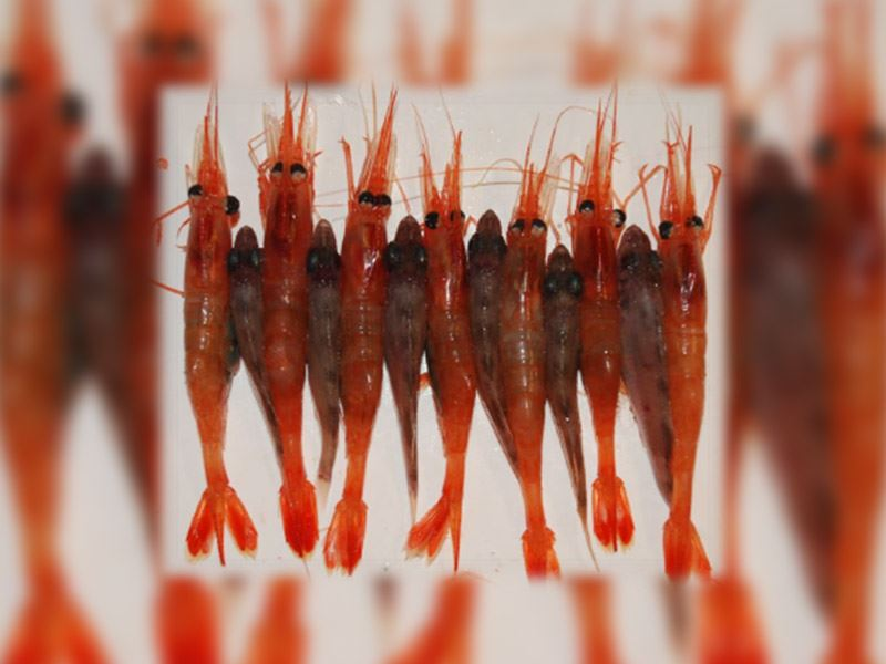 Det er utviklet tekniske løsninger som vil forbedre seleksjon i rekefisket gjennom økt utsortering av små reker og en del av den minste fiskeyngelen